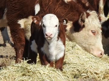 calf at hay feeding