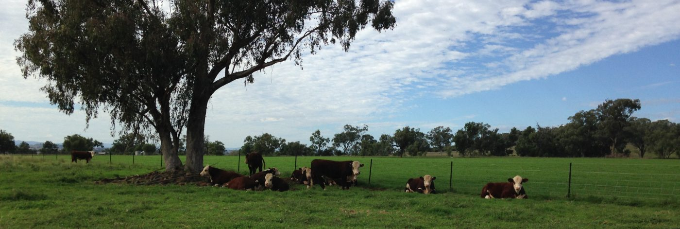 Swanvale Herefords